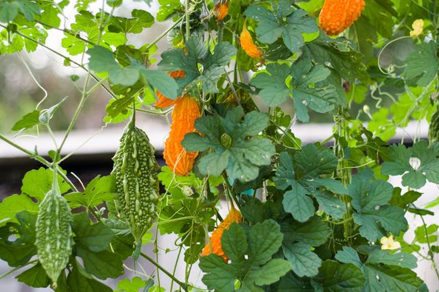 瓜科の野菜